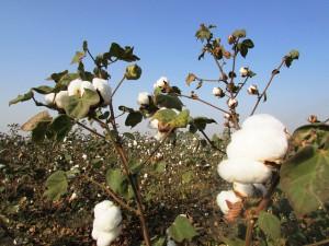 cotton-crop-265312_640