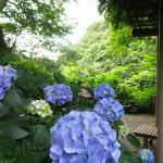 鎌倉あじさい瑞泉寺の見頃は?開花状況とアクセスは?