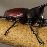 カブトムシ採集!成虫の育て方と捕り方 バナナトラップ