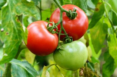 「トマト栽培」の画像検索結果