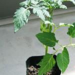 トマトの育て方は?失敗なしで家庭菜園を200%楽しむ方法!