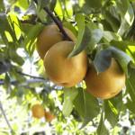 梨の種類(品種)別の特徴とは?梨に栄養はあるの?カロリーは?