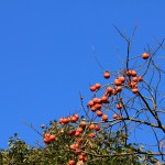 柿のカロリーは?栄養と効果が肌に良い?干し柿との違い